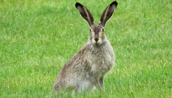 Listening - Hare picture by Erika Wittlieb